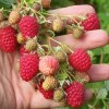 Crimson Giant raspberry plants Fall Bearing Raspberry Plants